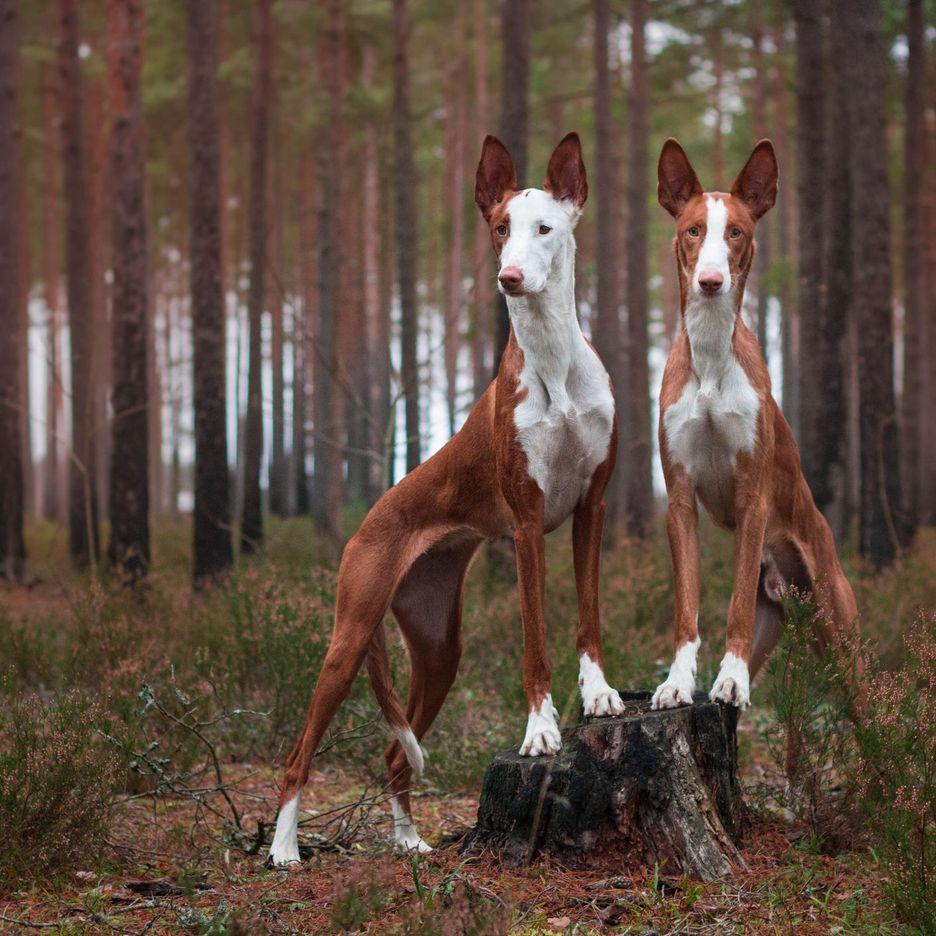 Secondary image of Ibizan Hound dog breed
