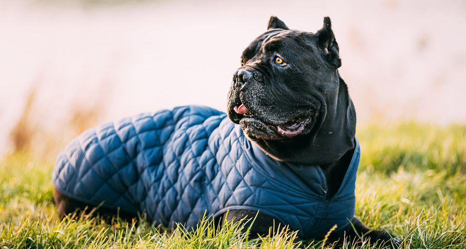 Secondary image of Cane Corso dog breed
