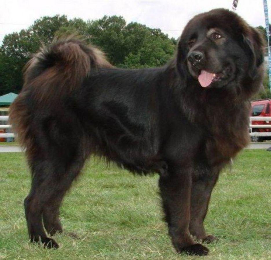Secondary image of Bakharwal Dog dog breed