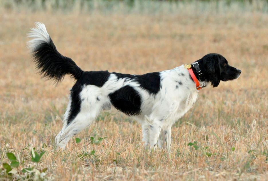Secondary image of Large Munsterlander dog breed