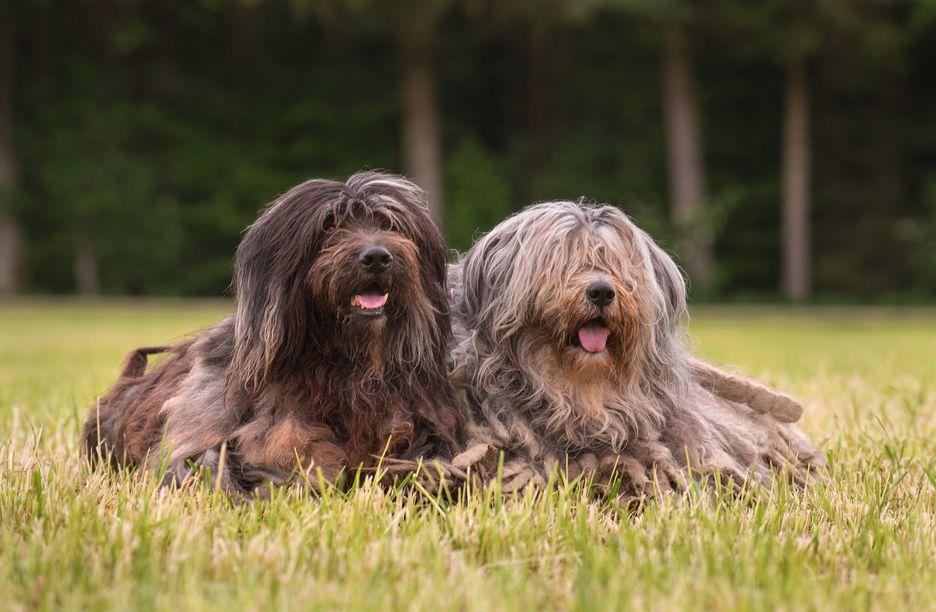 Secondary image of Bergamasco Shepherd dog breed