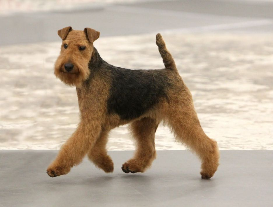 Secondary image of Welsh Terrier dog breed