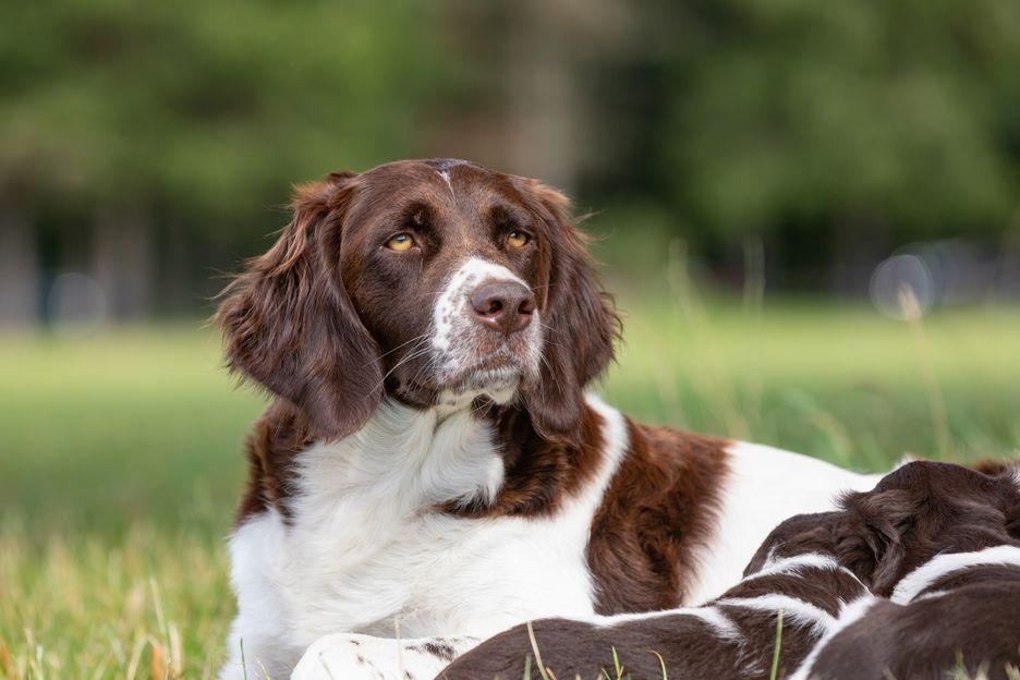 Secondary image of Drentsche Patrijshound dog breed