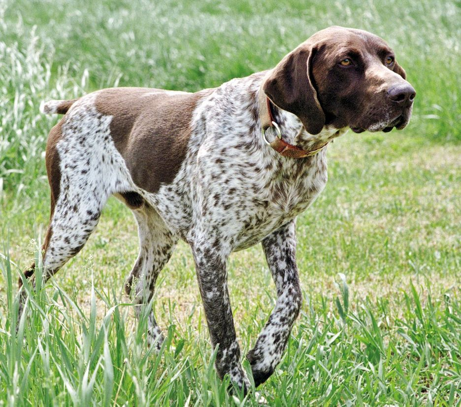Secondary image of German Shorthaired Pointer dog breed