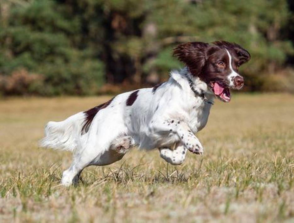 Secondary image of English Springer Spaniel dog breed