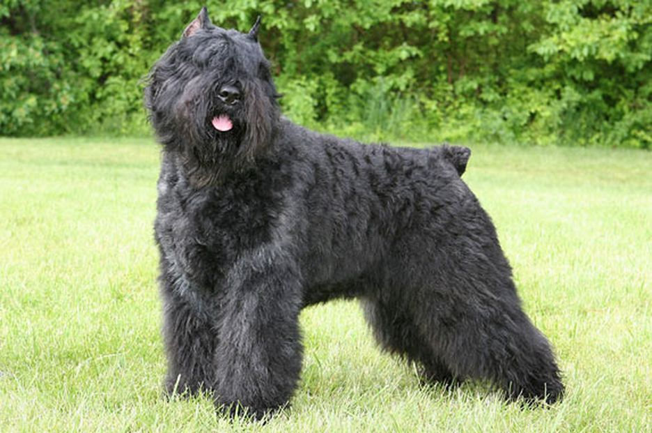 Secondary image of Bouvier Des Flandres dog breed