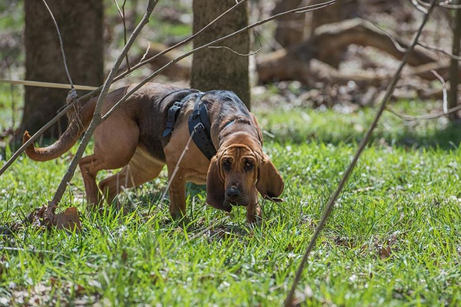 Secondary image of Bloodhound dog breed