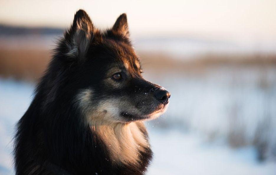 Secondary image of Finnish Lapphund dog breed