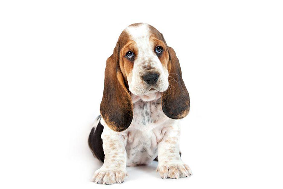 Secondary image of Basset Hound dog breed