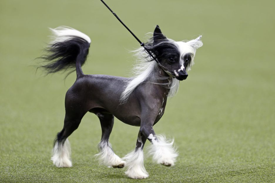 Secondary image of Chinese Crested dog breed