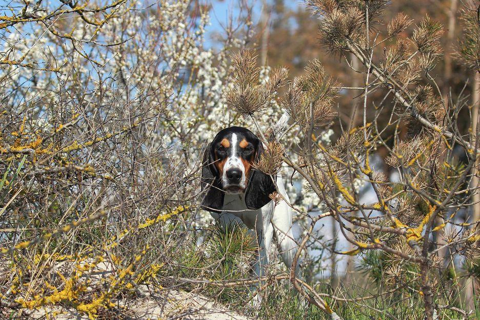 Secondary image of Berner Laufhund dog breed