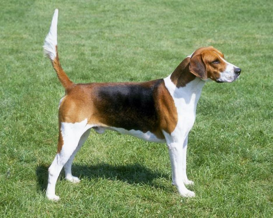 Secondary image of American Foxhound dog breed