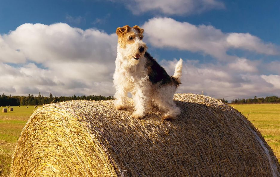 Secondary image of Wire Hair Fox Terrier dog breed