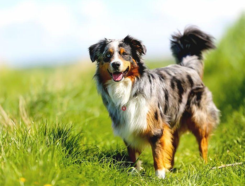 Secondary image of Australian Shepherd dog breed
