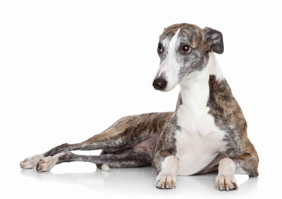 Secondary image of Italian Greyhound dog breed