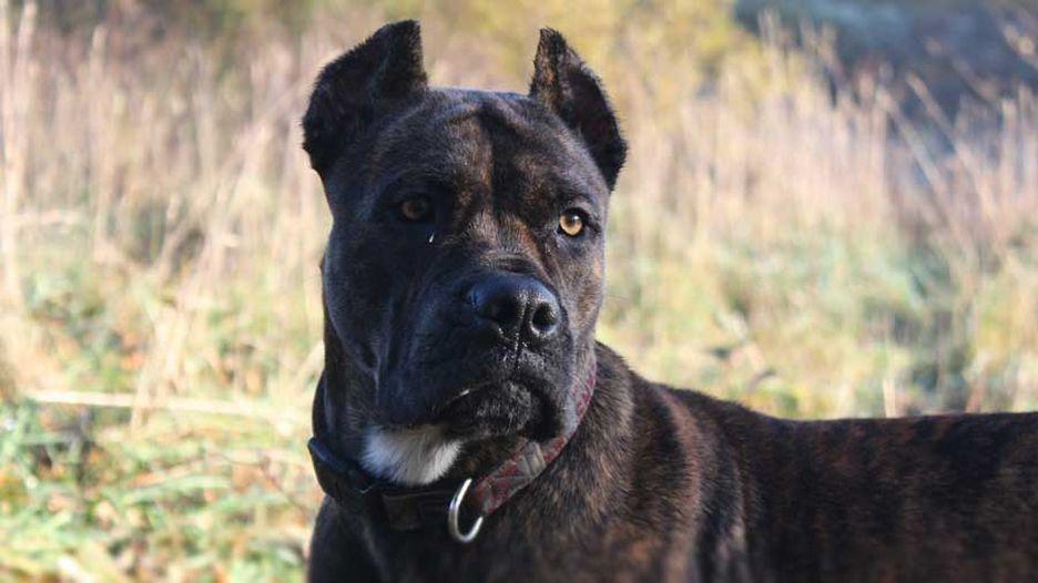 Secondary image of Alano Espanol dog breed
