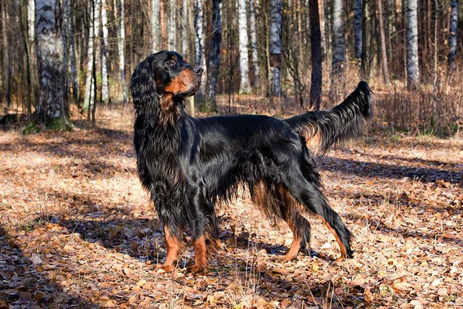 Secondary image of Gordon Setter dog breed