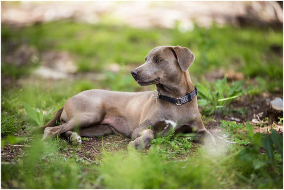 Secondary image of Blue Lacy dog breed