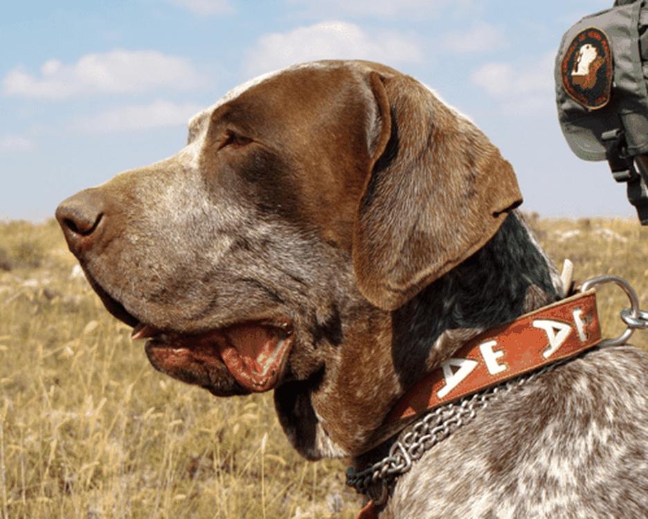 Secondary image of Burgos Pointer dog breed