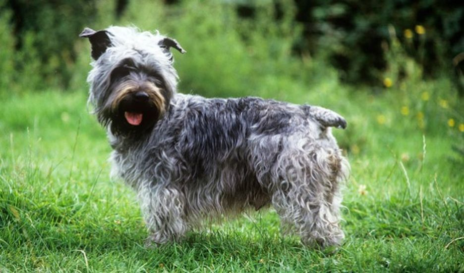 Secondary image of Glen of Imaal Terrier dog breed