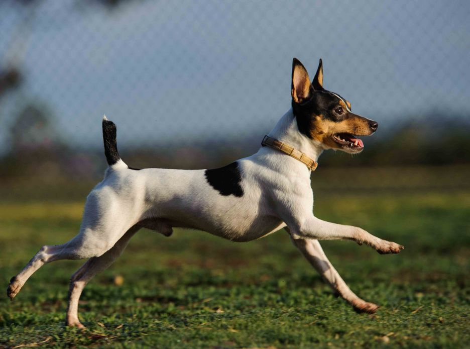 Secondary image of Toy Fox Terrier dog breed