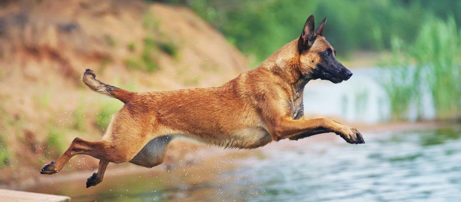 Secondary image of Belgian Malinois dog breed