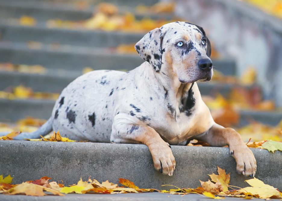 Secondary image of American Leopard Hound dog breed