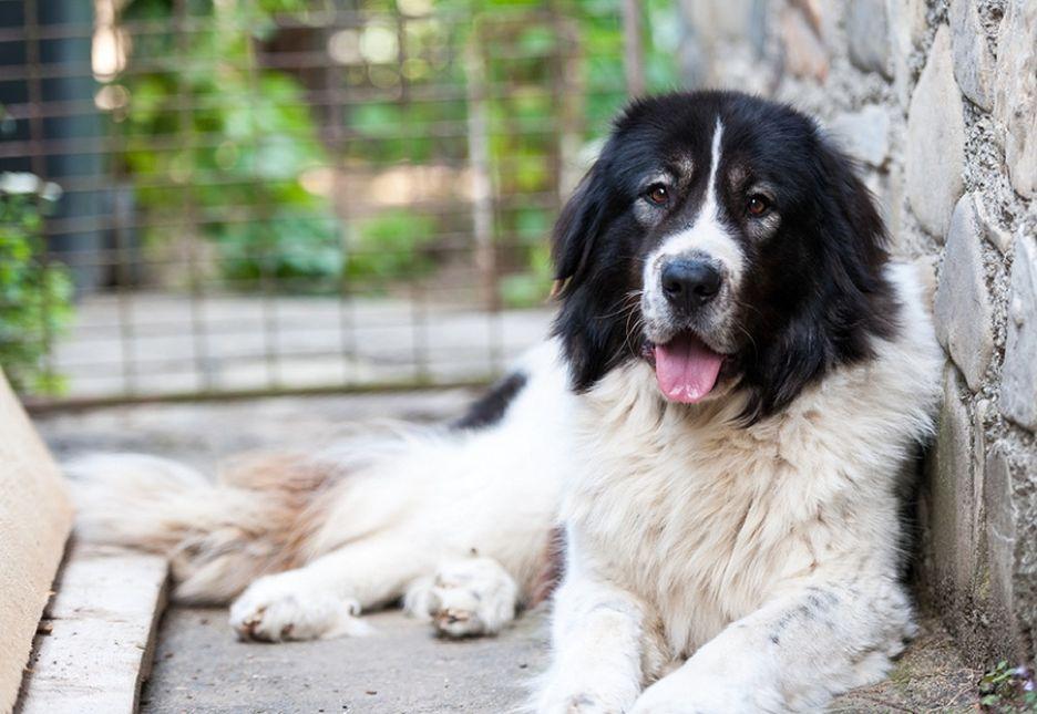 Secondary image of Bucovina Shepherd Dog dog breed