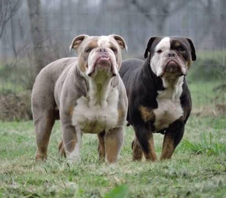 Secondary image of Olde English Bulldogge dog breed