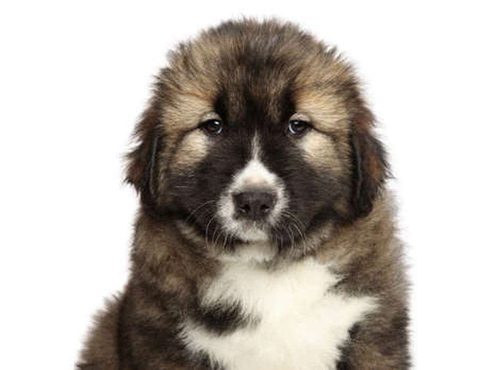 Secondary image of Caucasian Shepherd Dog dog breed