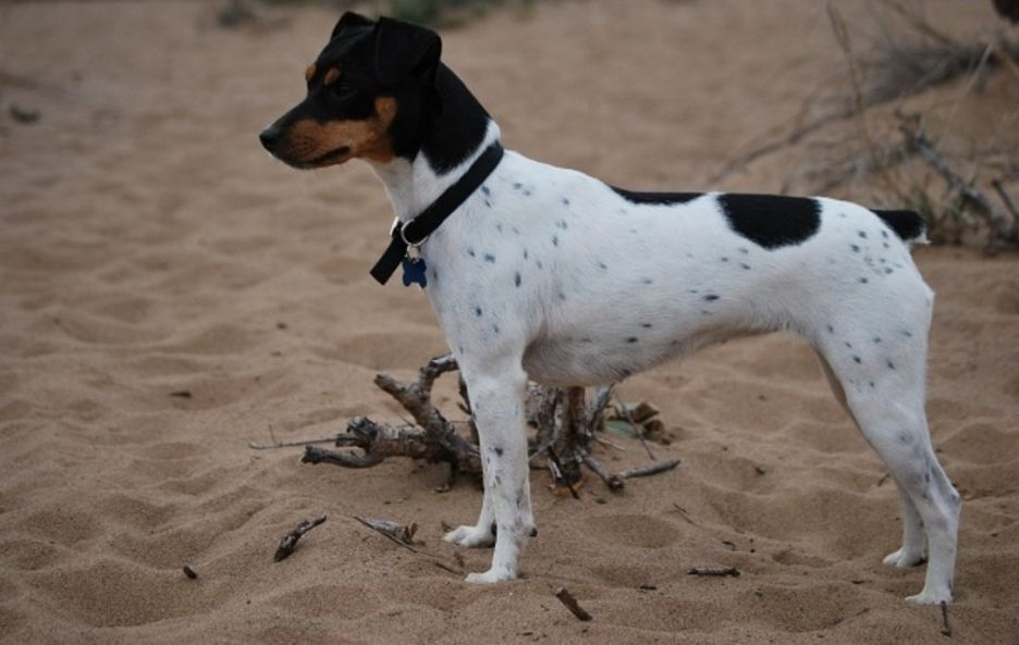 Secondary image of Brazilian Terrier dog breed