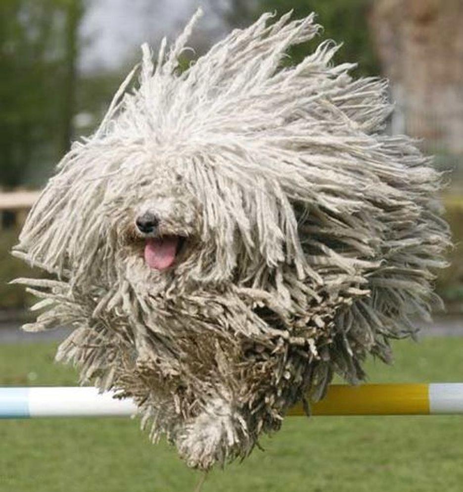 Secondary image of Komondor dog breed