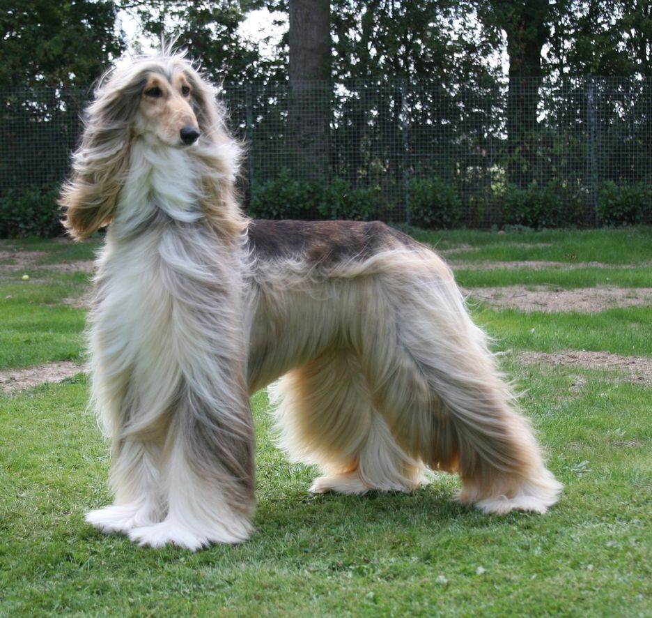 Secondary image of Afghan Hound dog breed