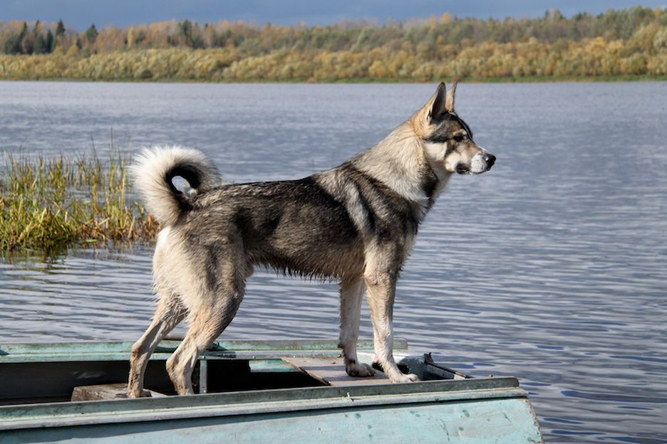 Secondary image of Canadian Eskimo Dog dog breed