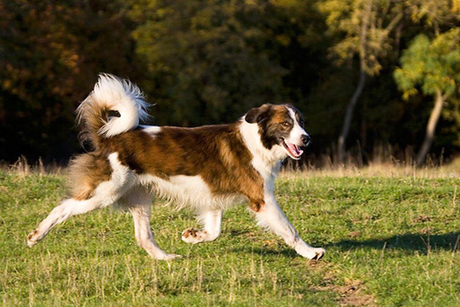 Secondary image of Aidi dog breed