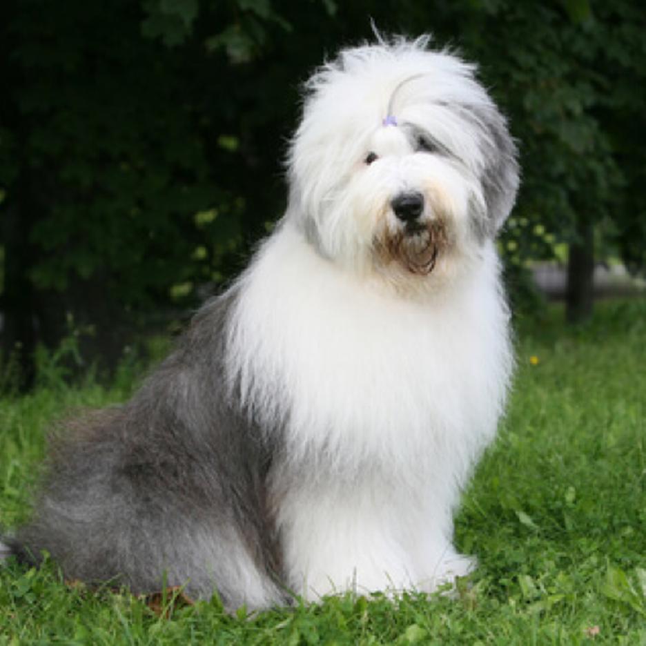 Secondary image of Old English Sheepdog dog breed
