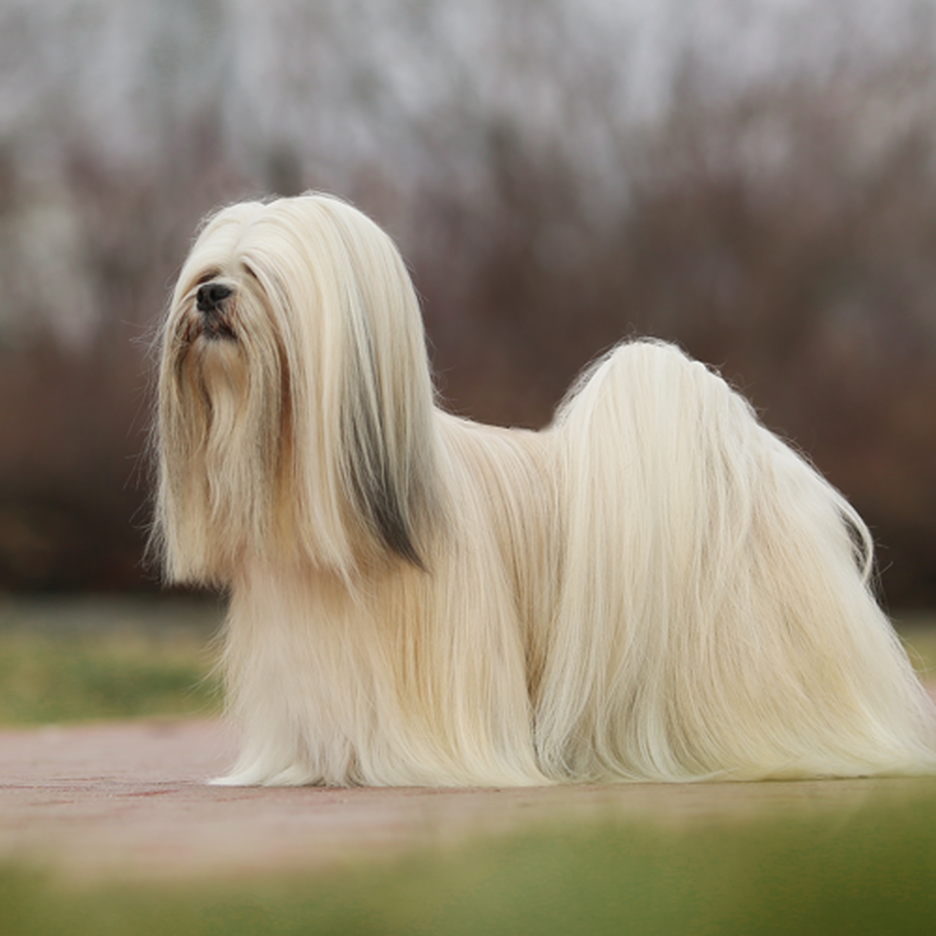 Secondary image of Lhasa Apso dog breed
