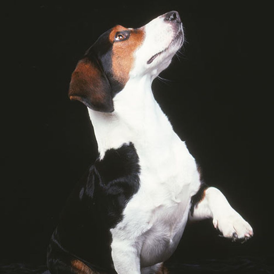 Secondary image of Drever dog breed