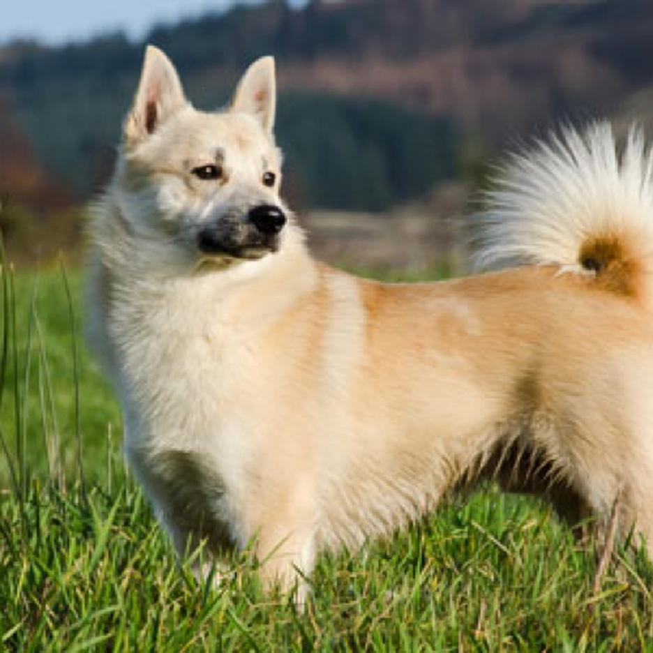 Secondary image of Norwegian Buhund dog breed