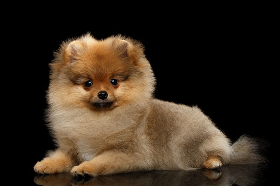 Secondary image of Pomeranian dog breed