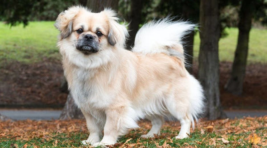 Secondary image of Tibetan Spaniel dog breed