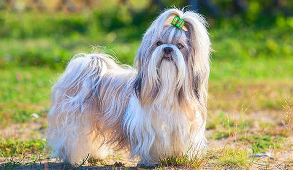 Secondary image of Shih Tzu dog breed