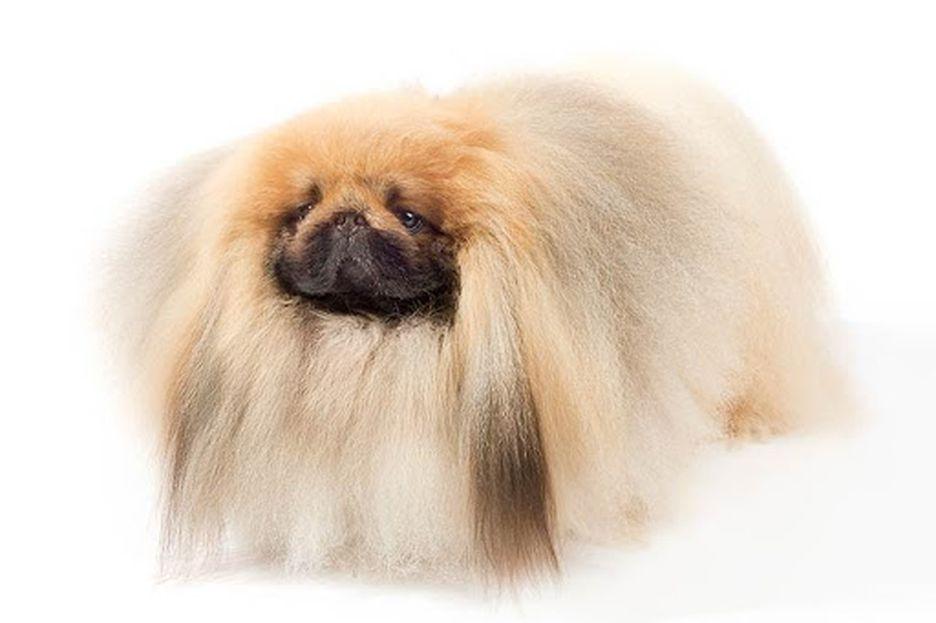 Secondary image of Pekingese dog breed