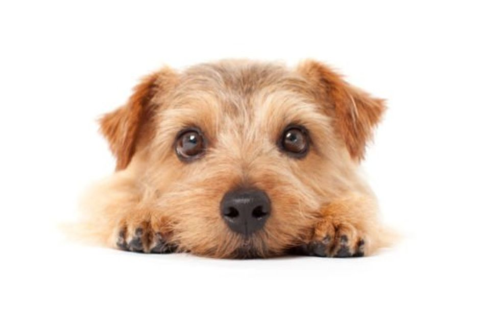 Secondary image of Norfolk Terrier dog breed