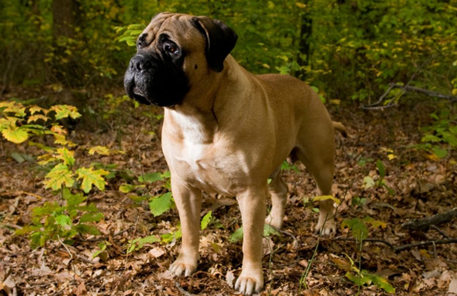 Secondary image of Bullmastiff dog breed