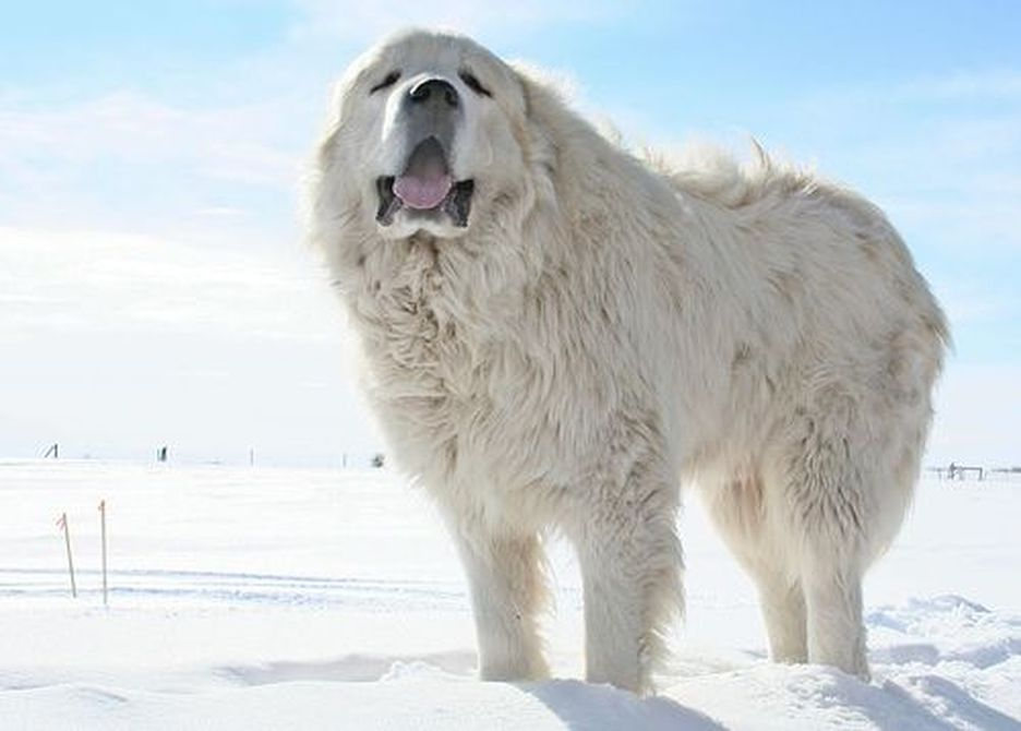 Secondary image of Great Pyrenees dog breed