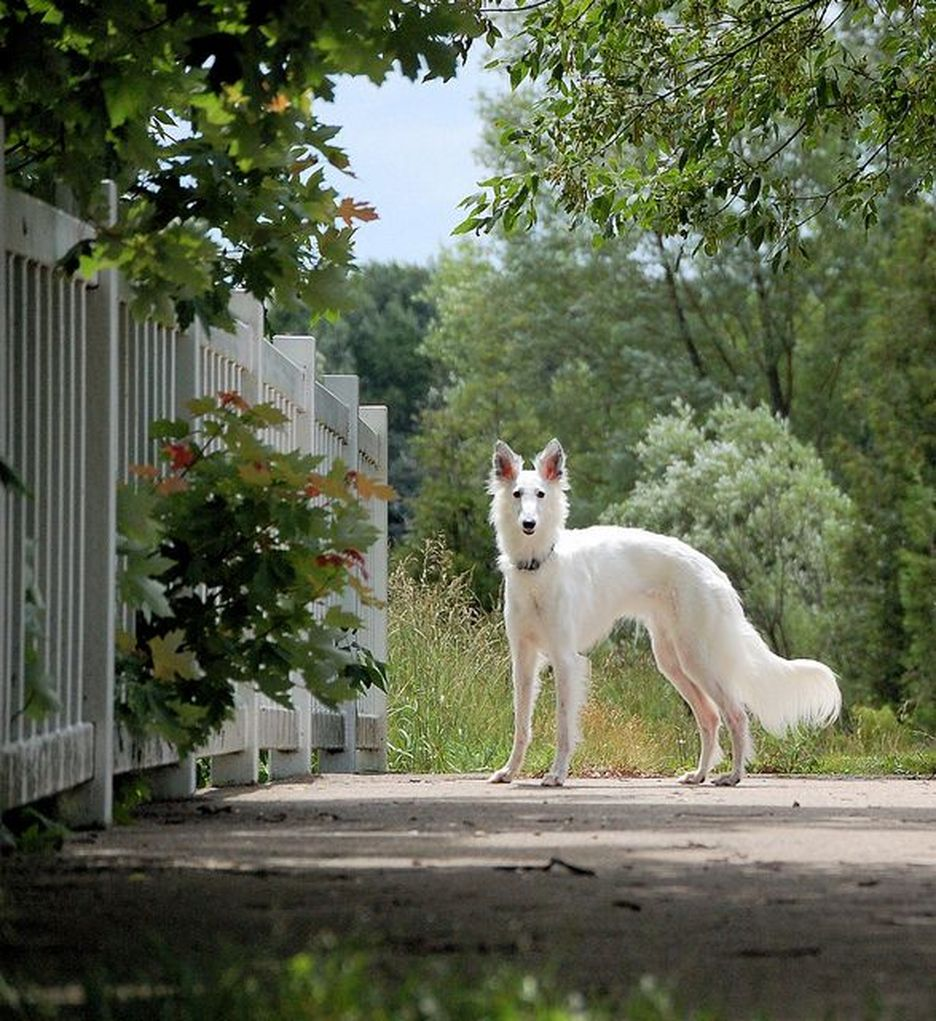 Secondary image of Silken Windhound dog breed
