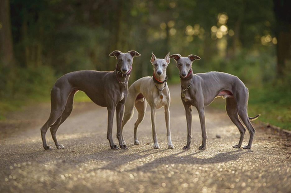Secondary image of Whippet dog breed
