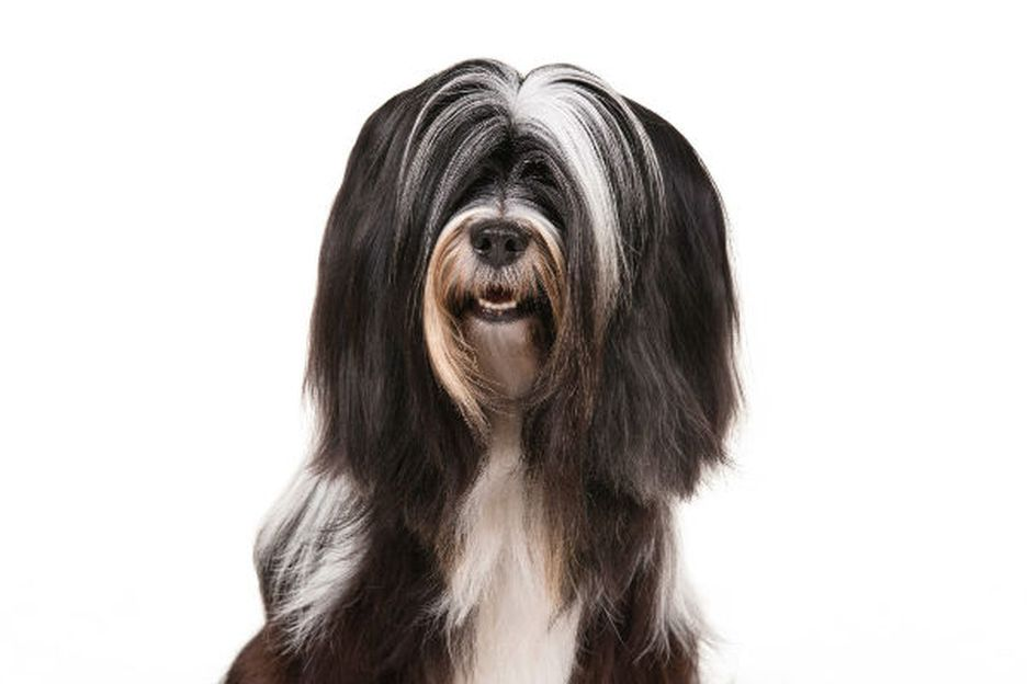 Secondary image of Tibetan Terrier dog breed