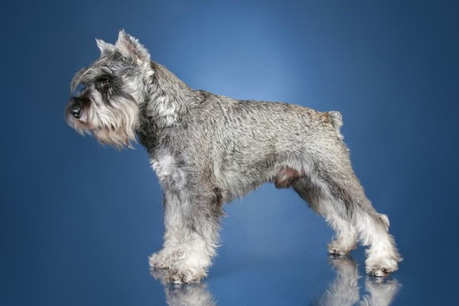 Secondary image of Standard Schnauzer dog breed
